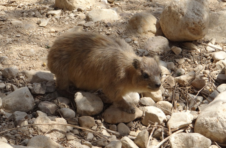 Hyrax, Shafan, Rock Badger, or Giant Rat?